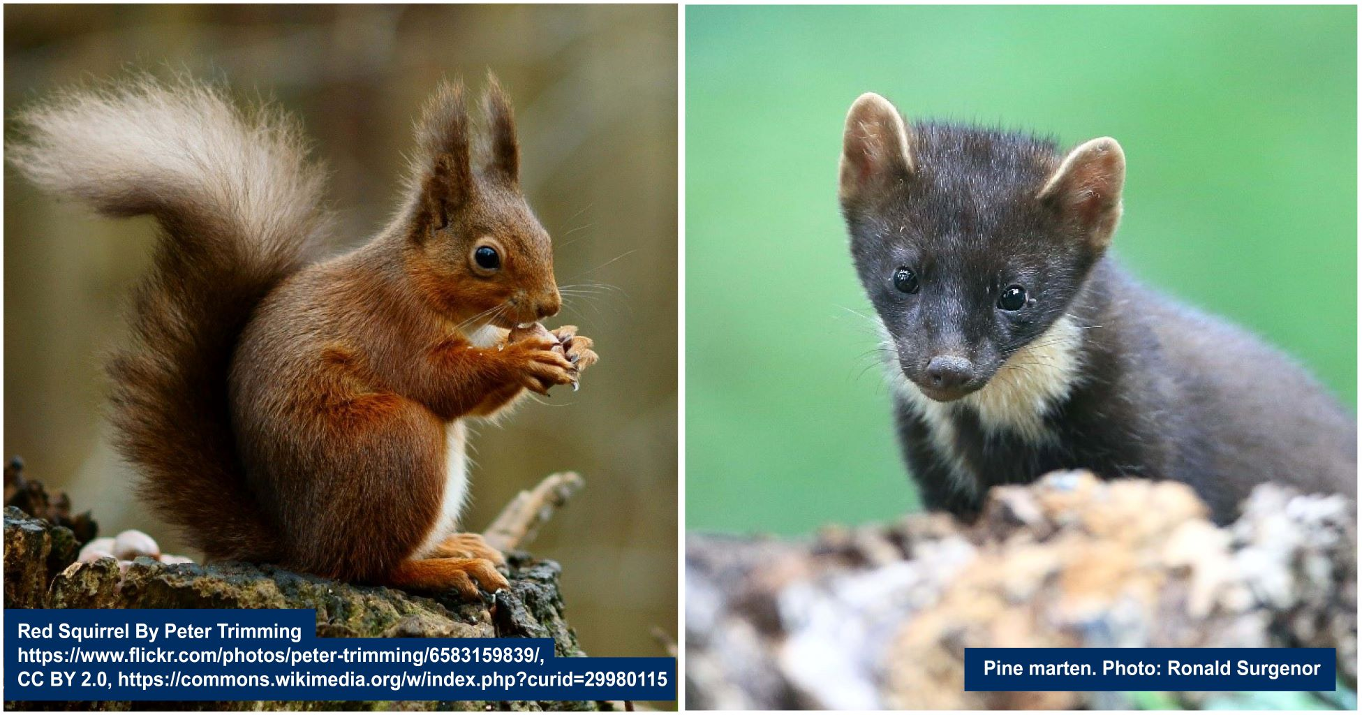 Red Squirell and Pine Marten